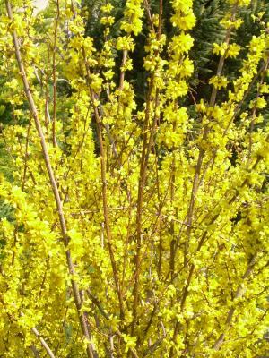 20090317141203-forsythiamarzo-primavera09-060.jpg