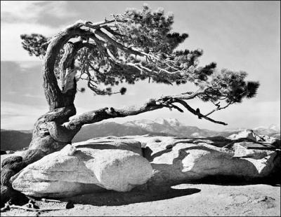 20110324093220-jeffrey-pine-sentinel-domeansel-adams.jpg